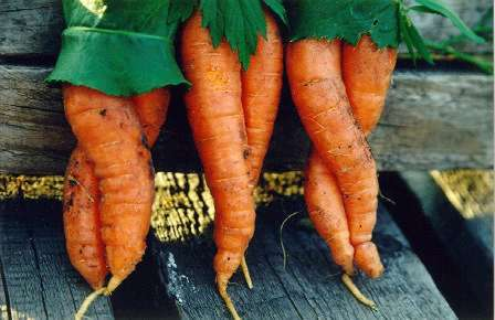 Carrots as the women